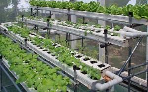 yohanes-chandra-ekajaya-tanaman